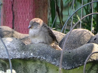 napping sparrow 1